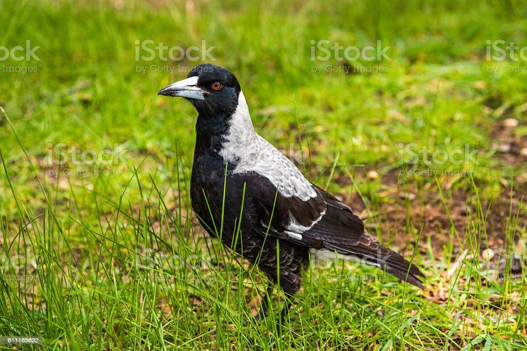 Magpie bird in Australia stock photo