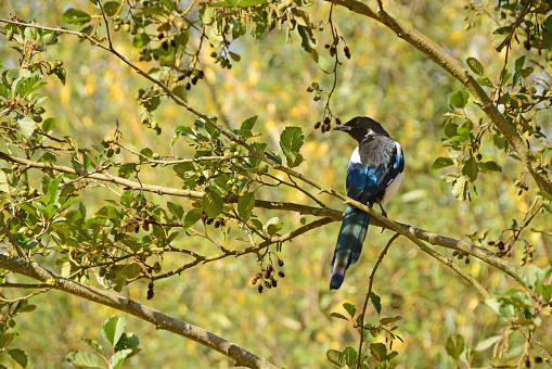 Summer: single Magpie bird resting on an Alder branch and looking over the shoulder.