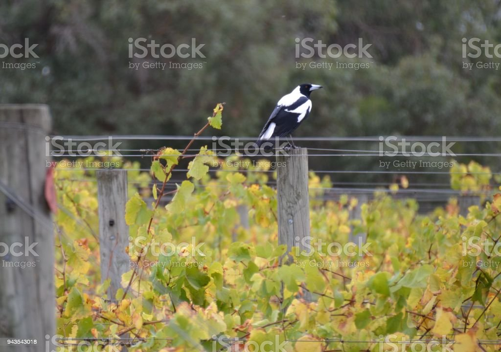 Magpie bird sitting on a post in the middle of the grape vines at a vineyard stock photo