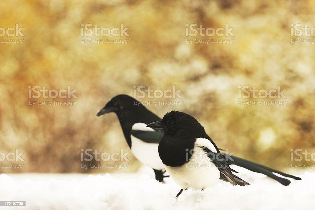 Magpie Corvidae Snow Birds royalty-free stock photo