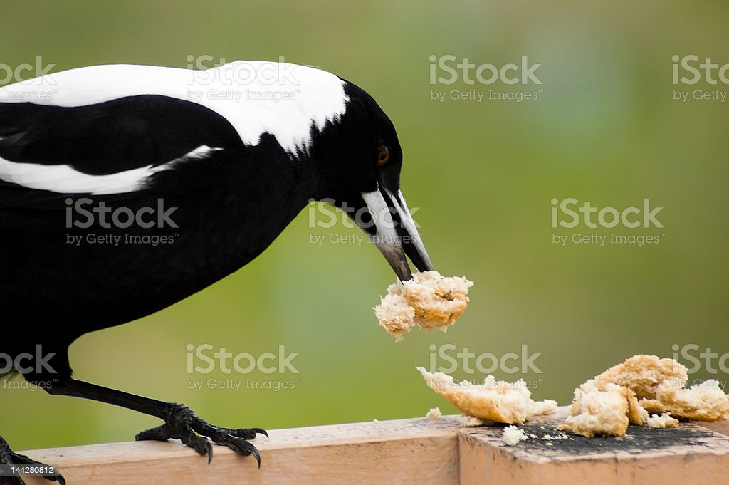 Magpie Eating Bread stock photo