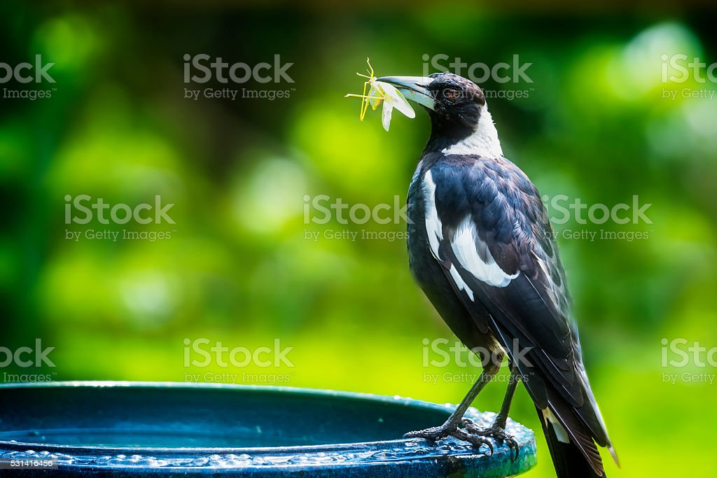 Magpie eating stock photo