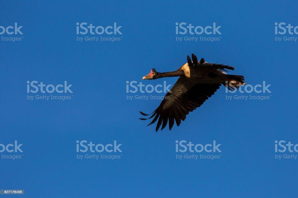 A Magpie Goose in flight over a flood plain, NT, Australia stock photo