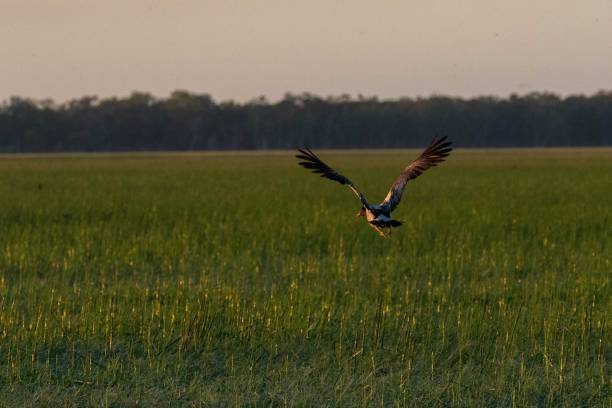 a magpie goose in flight over a flood plain, nt, australia - janet k scott stock pictures, royalty-free photos & images