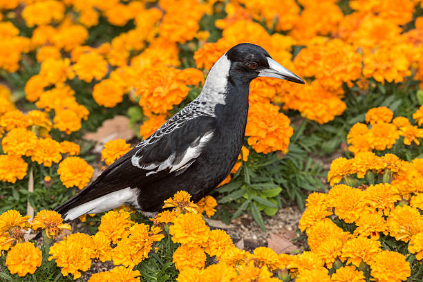 magpie in australia on orange blossom glower background stock photo