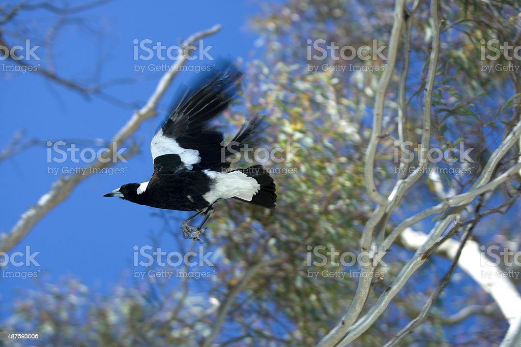 Magpie in flight stock photo