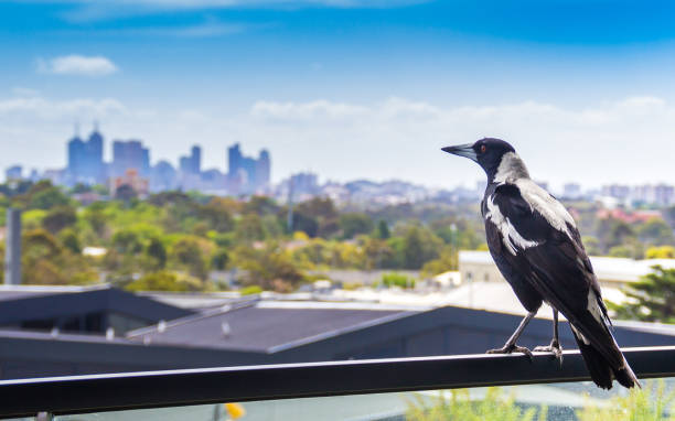 Magpie looking out at Melbourne city skyline stock photo