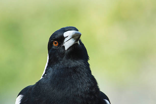 Magpie Looking stock photo