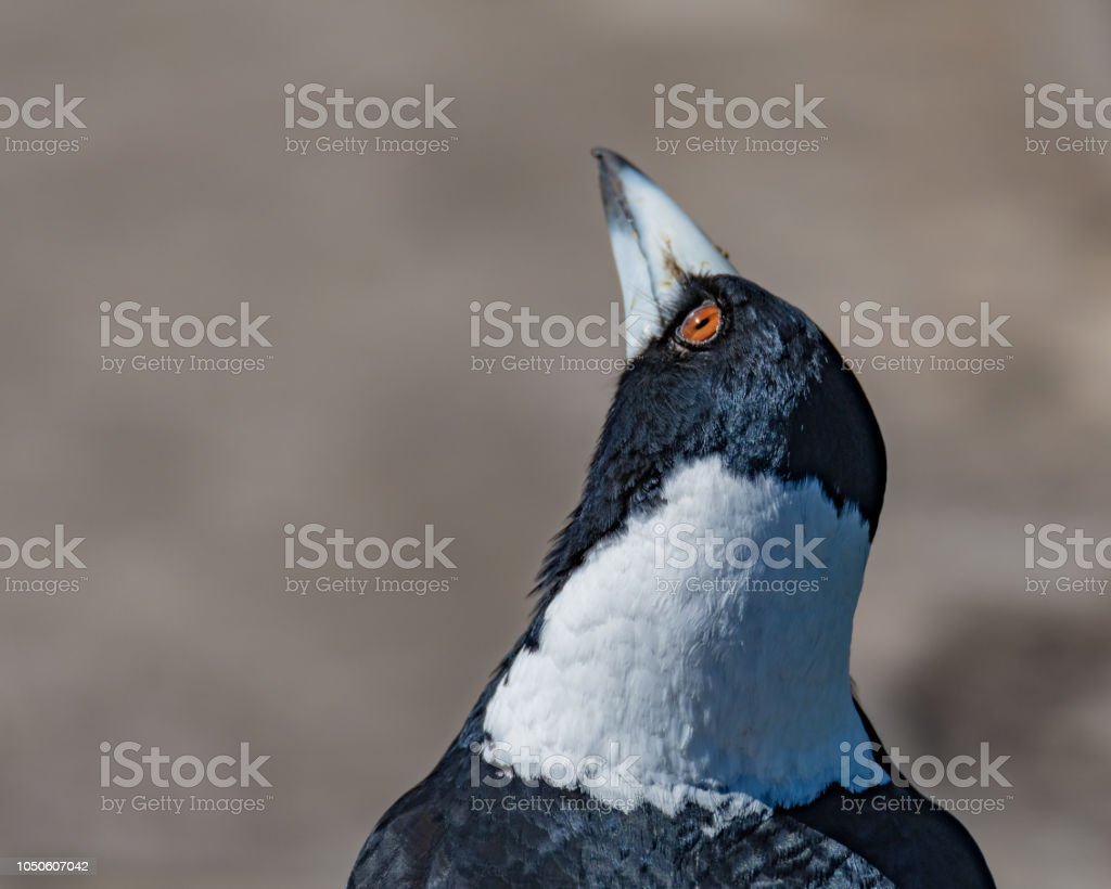 Magpie looking up stock photo