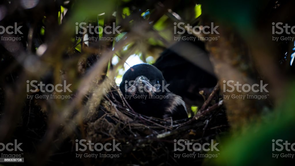 Magpie Nestling's Portrait stock photo