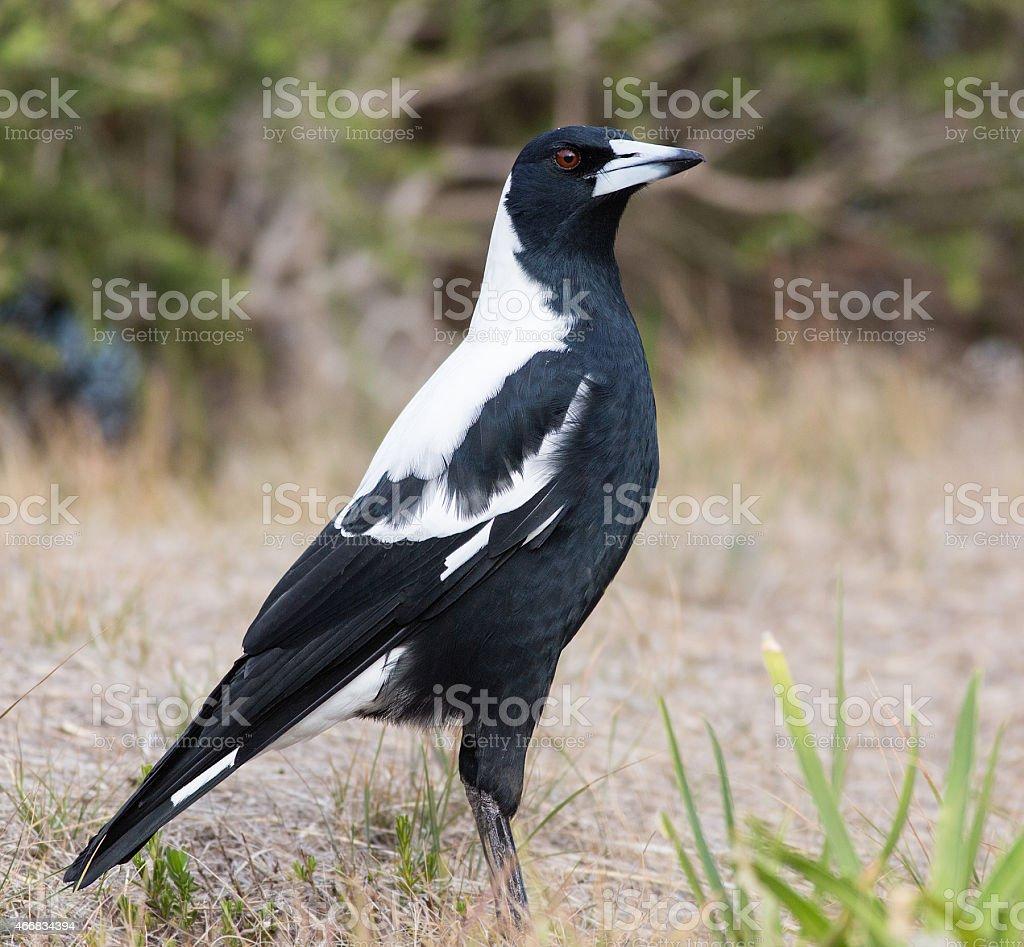 Magpie on ground stock photo