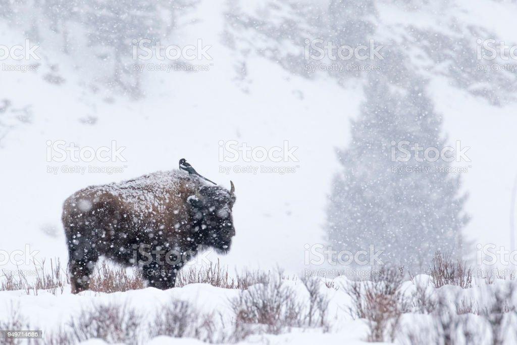 Elster thront über Bison in einem Schneesturm – Foto