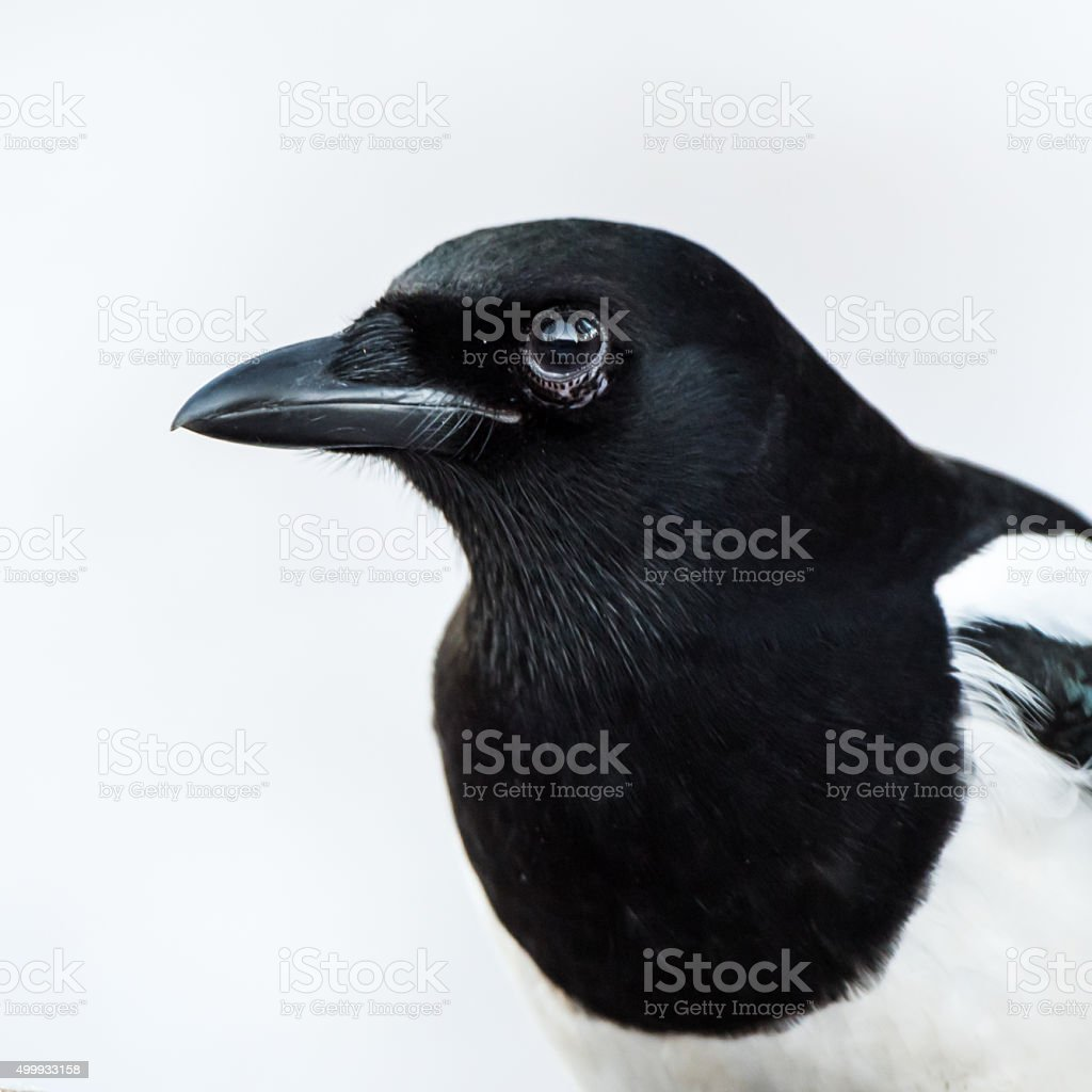 Magpie portrait L stock photo