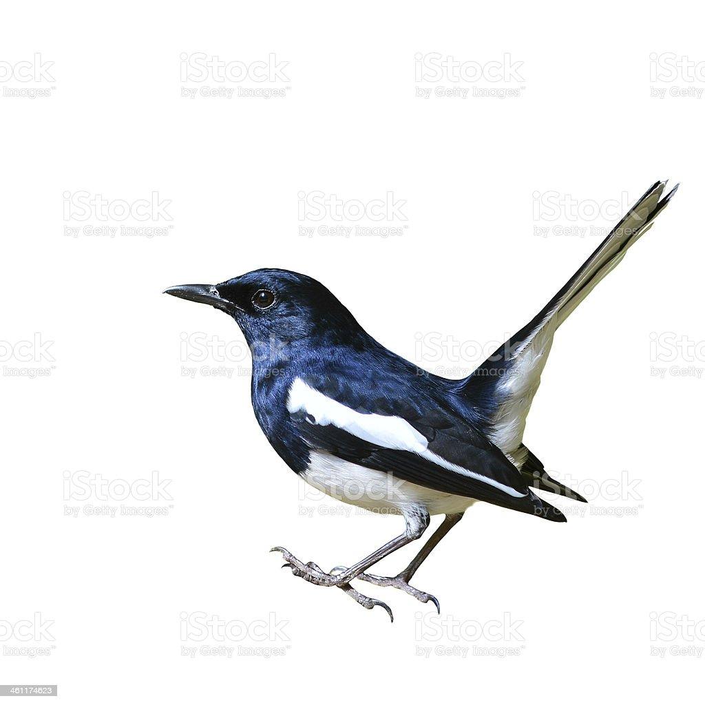 Magpie Robin bird stock photo