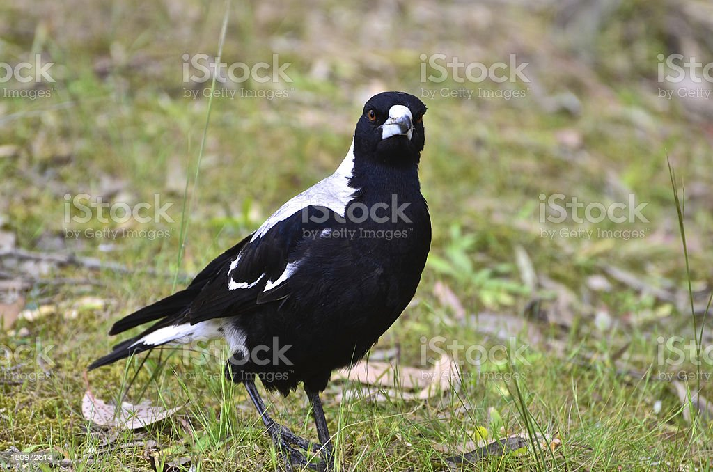 Magpie standing on the ground stock photo