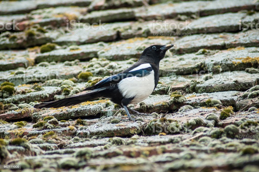Magpie Walking On Terra Cotta Tiles On The Roof Stock Photo - Download  Image Now