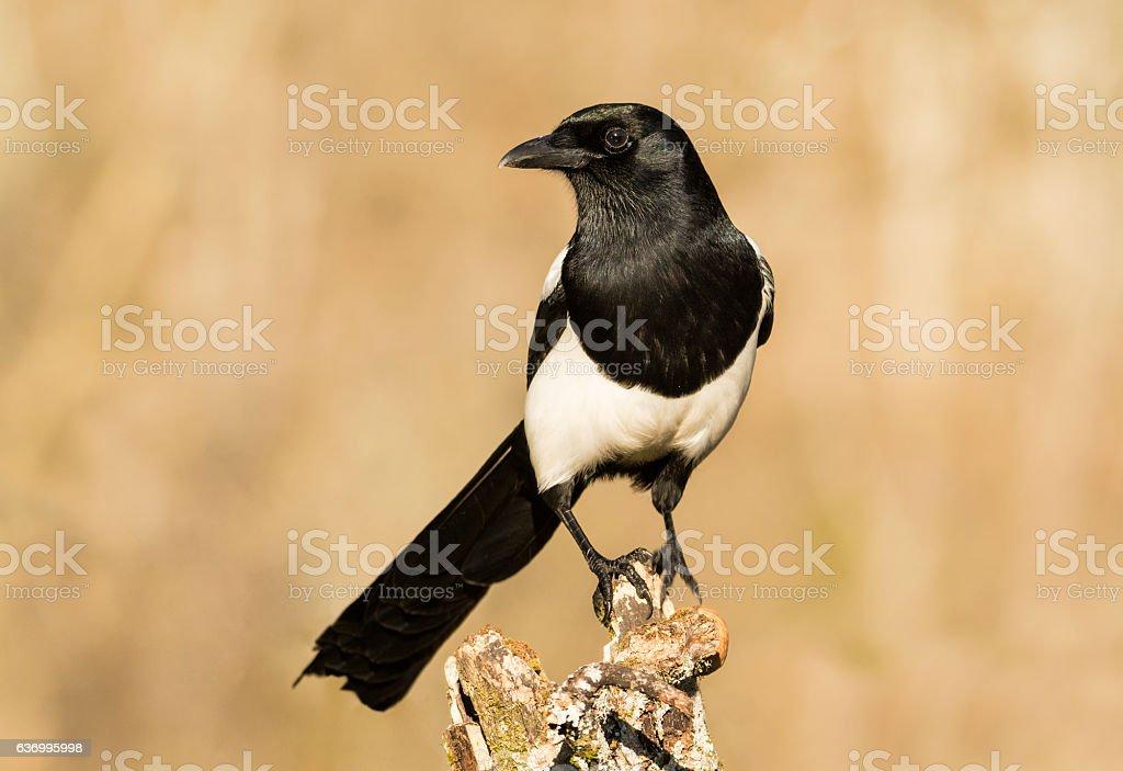 Magpie,corvid stock photo