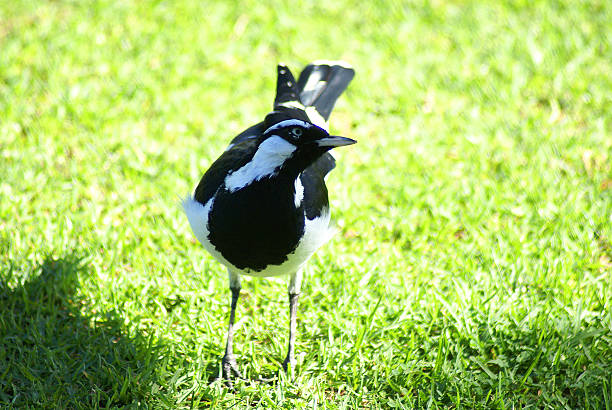 Magpie-lark on a lawn in closeup stock photo