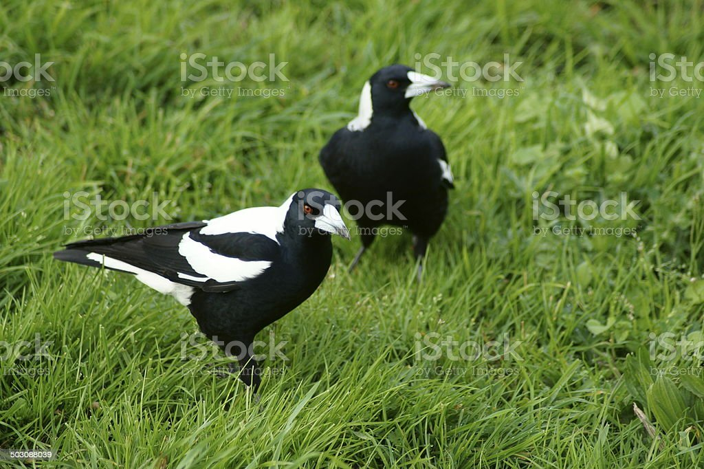 Magpies in grass. stock photo