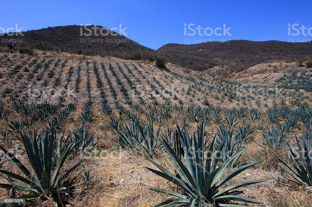 Maguey plants field to produce mezcal, Mexico stock photo