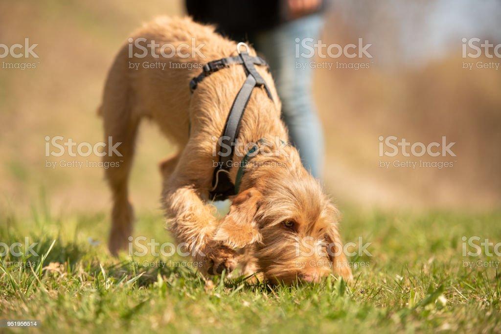 Magyar Vizsla 18 Wochen alt - ist das Gras und die Folgen einer Spur Hund Welpen schnüffeln. – Foto