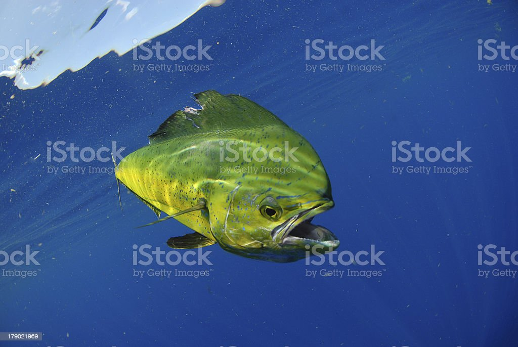 Mahi swimming in ocean stock photo