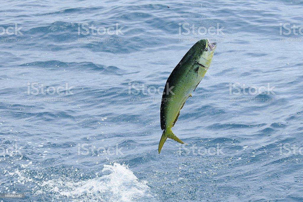 mahi-mahi {Coryphaena hippurus) leaping. stock photo