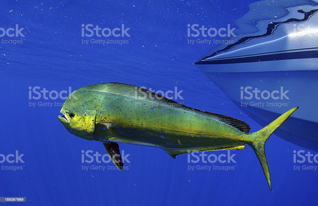 mahi-mahi or dolphin fish stock photo