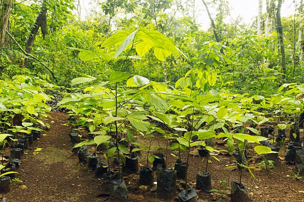 mahogany seedlings for reforestation - herbebossing stockfoto's en -beelden