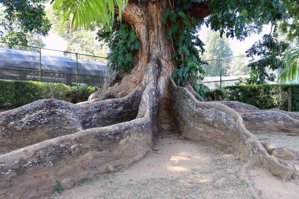 Mahogany tree stock photo
