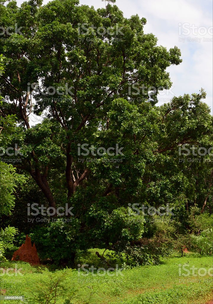 Mahagonibaum  Mahagonibaum West Africa - Stockfoto | iStock