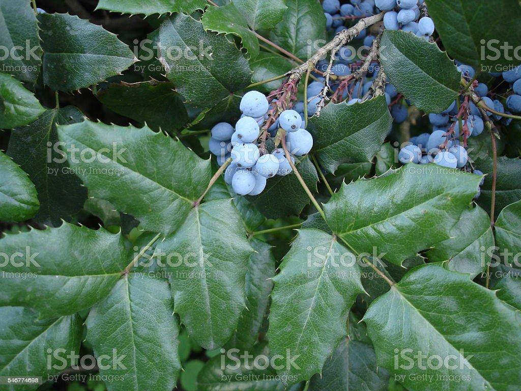 Mahonia aquifolium blue fruit and green leaves stock photo