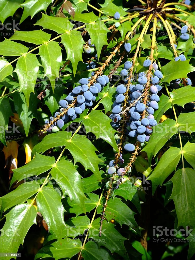 Mahonia fruits royalty-free stock photo