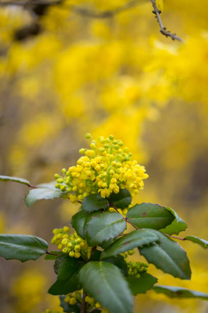 Mahonie barberry in flower stock photo