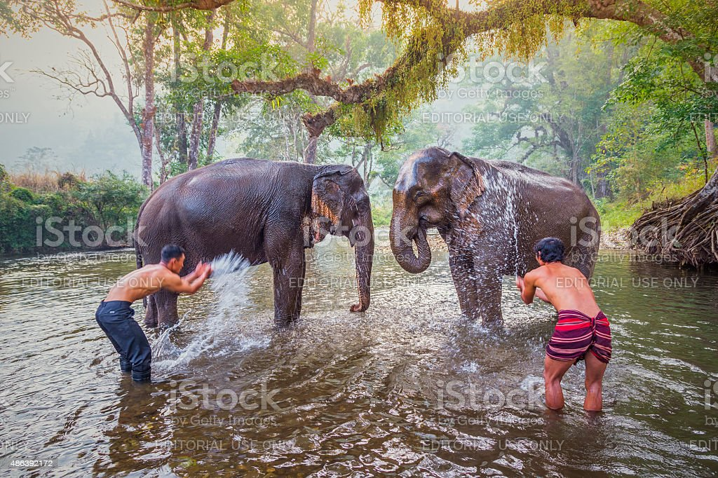 mahouts bathe and clean the elephants in the the river stock photo