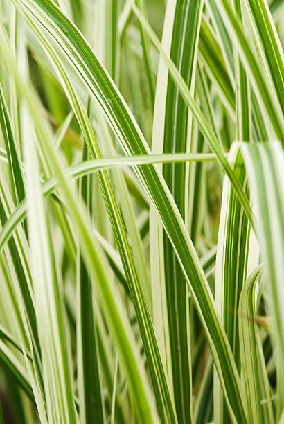 maiden gras (miscanthus'dixieland'sinensis - chinaschilf stock-fotos und bilder
