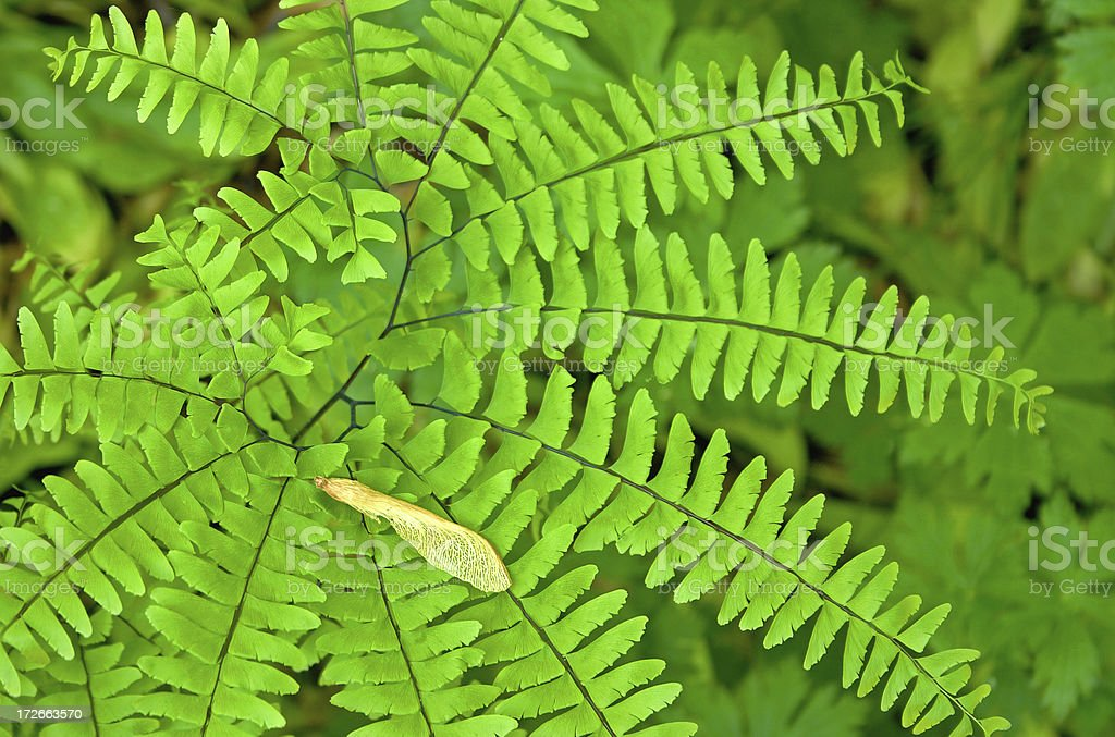 Maiden Hair Fern royalty-free stock photo