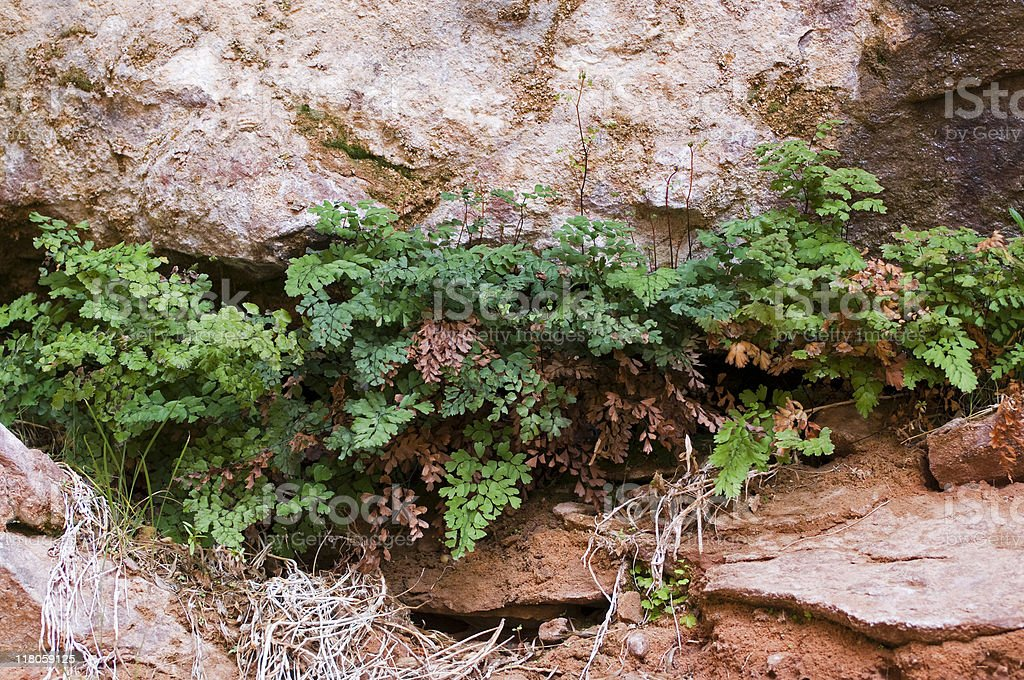 maidenhair fern, Adiantum capillus-veneris royalty-free stock photo
