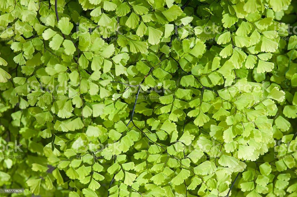 maidenhair fern, Adiantum species, close up stock photo