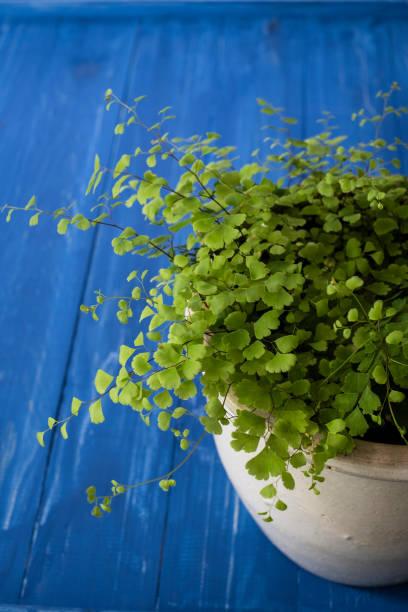 Maidenhair Fern on a Vivid Blue Background stock photo
