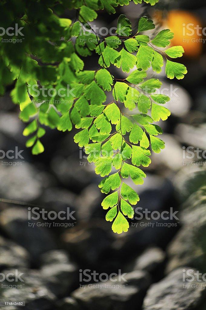Maidenhair fern royalty-free stock photo