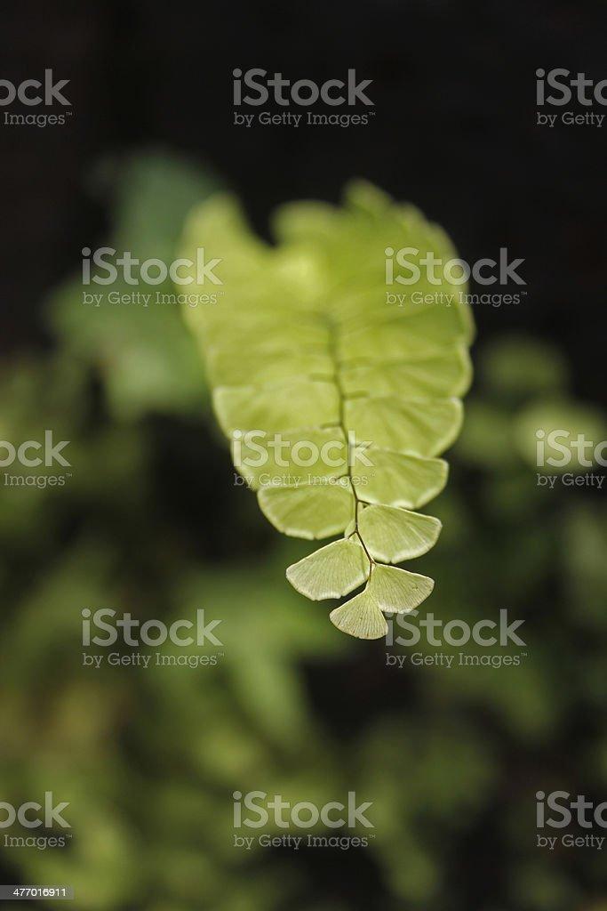 Maidenhair fern (Adiantum pedatum) stock photo