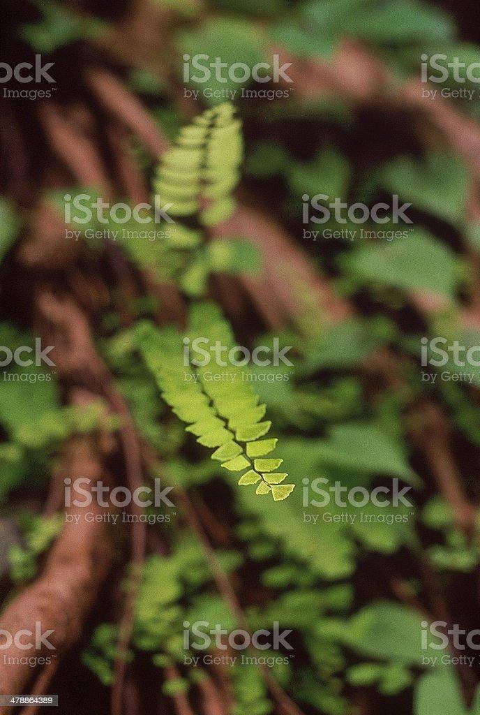 Maidenhair fern stock photo