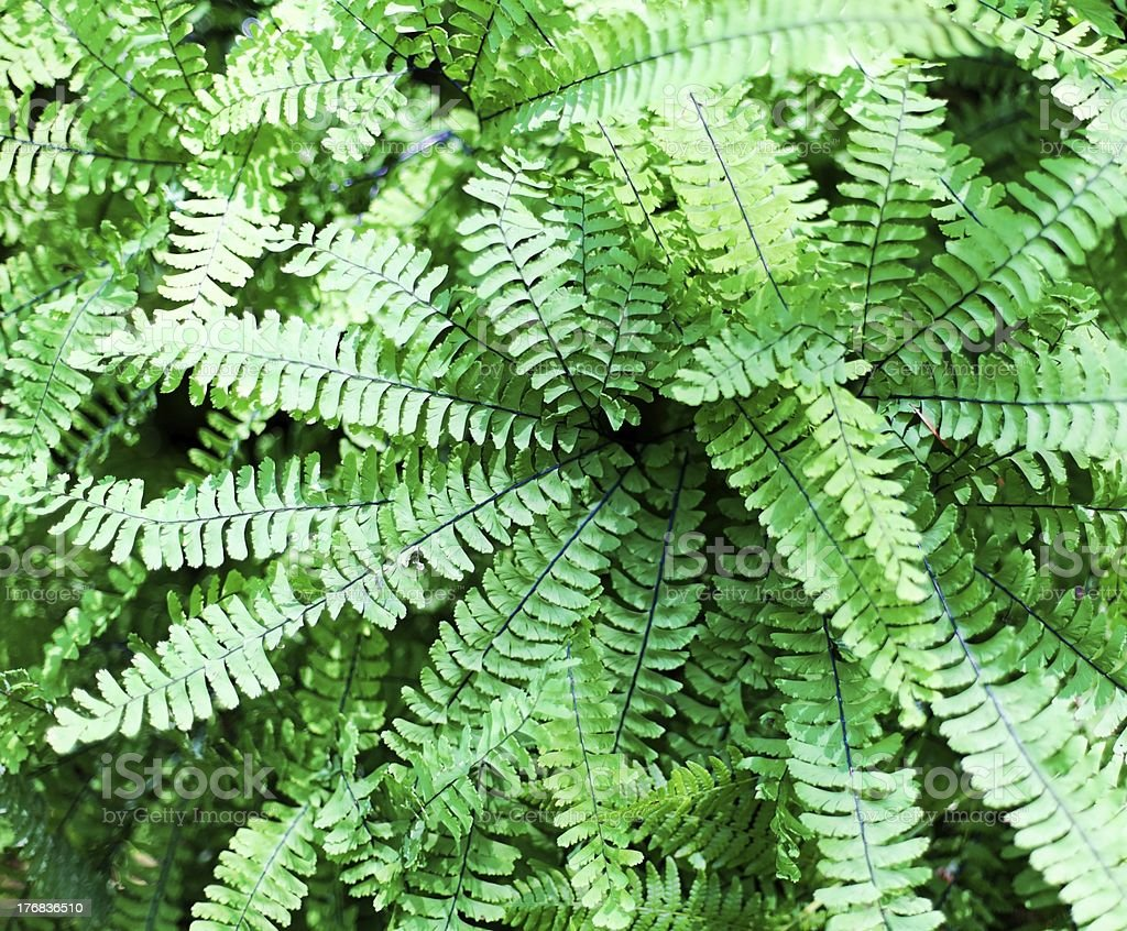 Maidenhair ferns (Adiantum pedatum) royalty-free stock photo