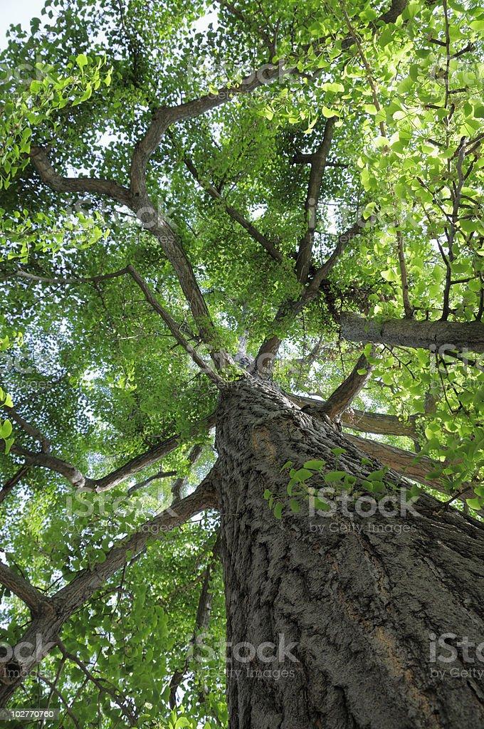 Maidenhair Tree royalty-free stock photo