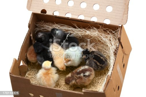 These newborn chicks arrived at the post office in this box with holes punched in it, cheeping their hearts out. Pictured are 9 different breeds of chickens, 3 days old in this photo. Buff Orpington, Rhode Island Red, Ameraucana, Cuckoo Marans, New Jersey Giant, Golden Laced Wyandotte, Welsummer, Naked Neck Turken, and Plymouth Barred Rock.