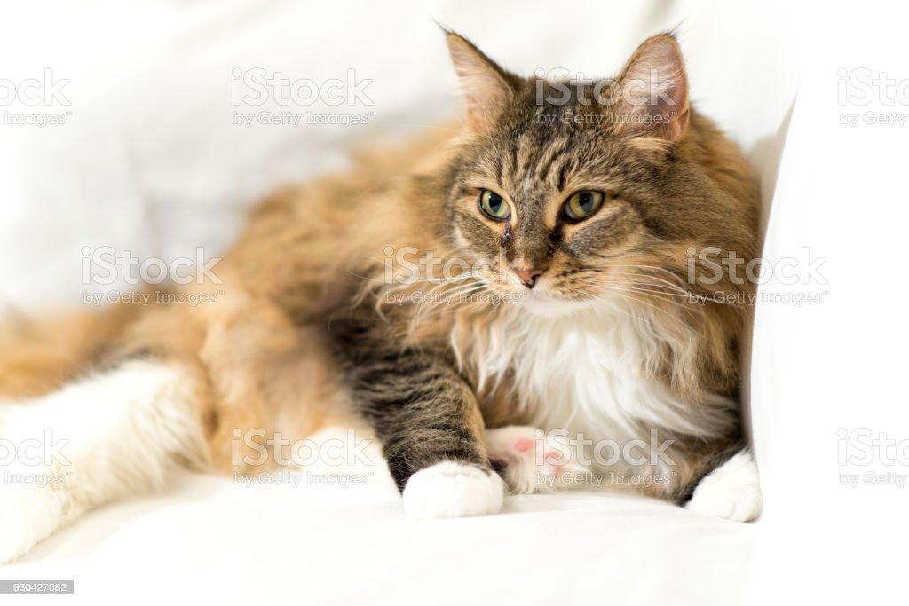 Main Coon Katze Stockfoto Und Mehr Bilder Von Einzelnes Tier Istock