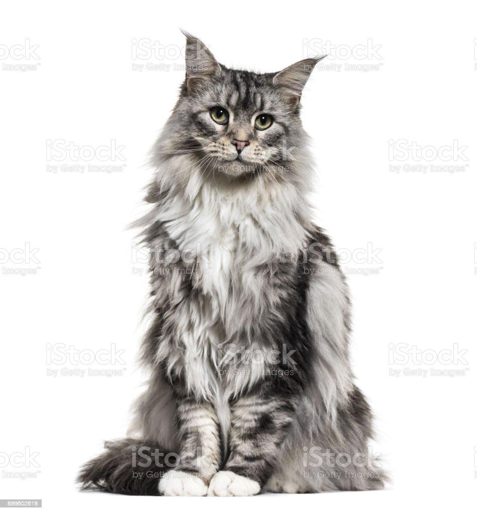 Main Coon Cat Sitting Isolated On White Stockowe Zdjęcia I Więcej