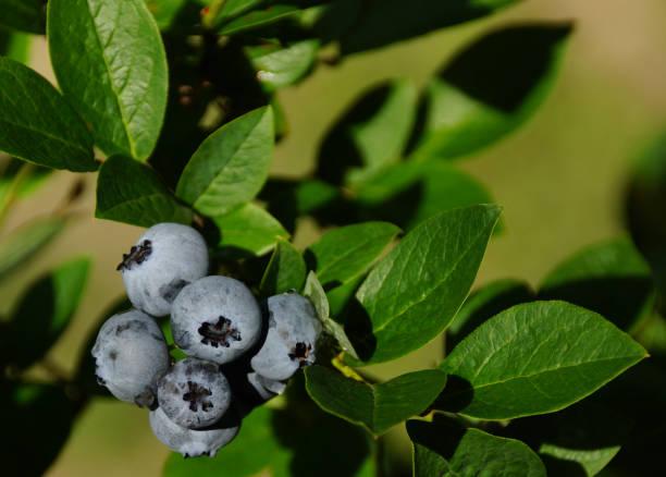 Maine Blueberries stock photo