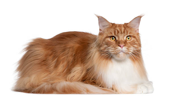 Maine coon 2 years old lying picture id510067136?b=1&k=6&m=510067136&s=612x612&w=0&h=ng0o4hjafmluhoxztk6c05vscirnj0ccvypgs ruxyi=